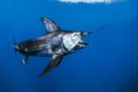 Swordfish are more at home in temperate oceans.