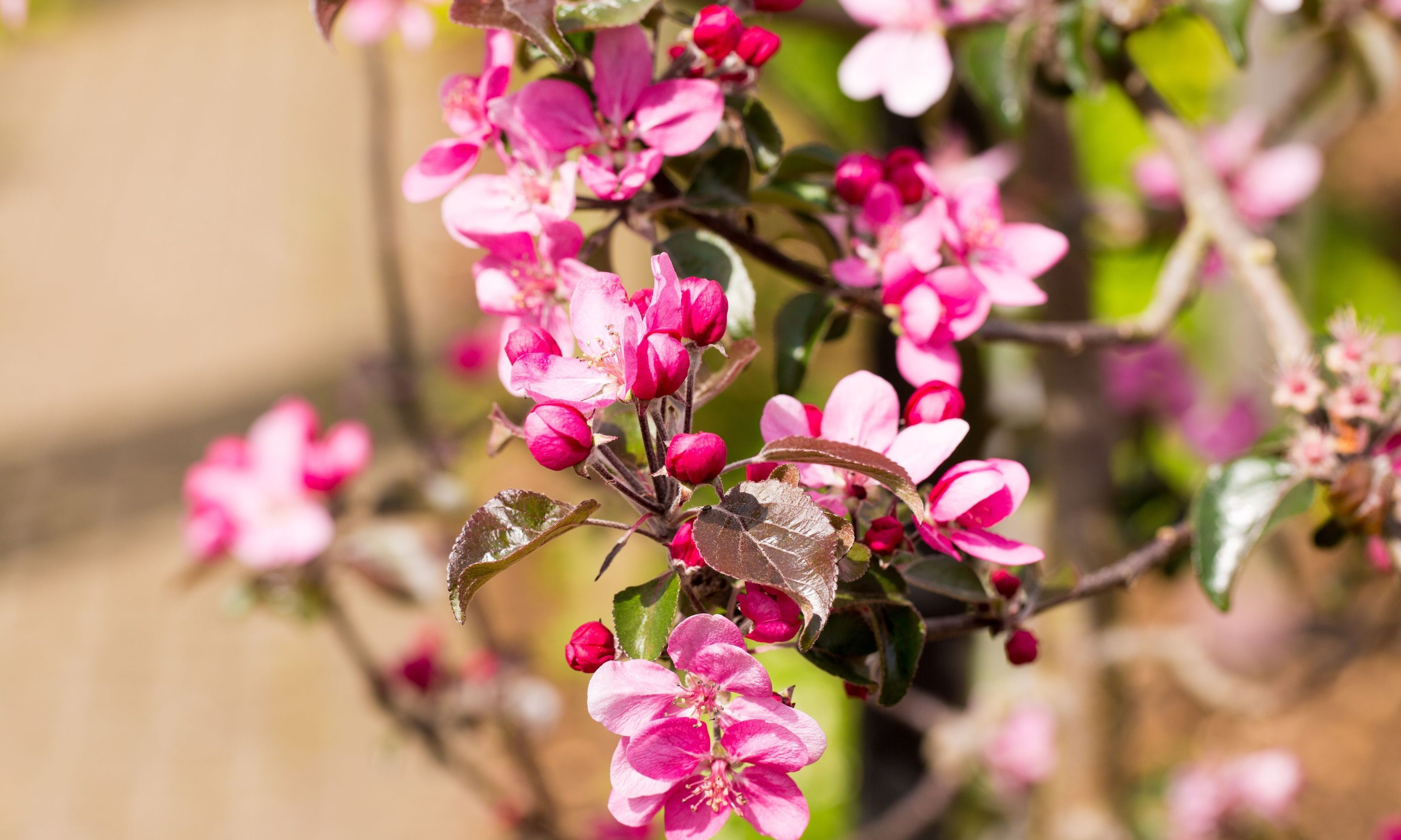A crab apple blossoming in Spring.