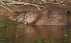 Beavers may soon face water gates in Meigle Burn.