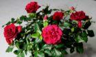 Rose pot plant