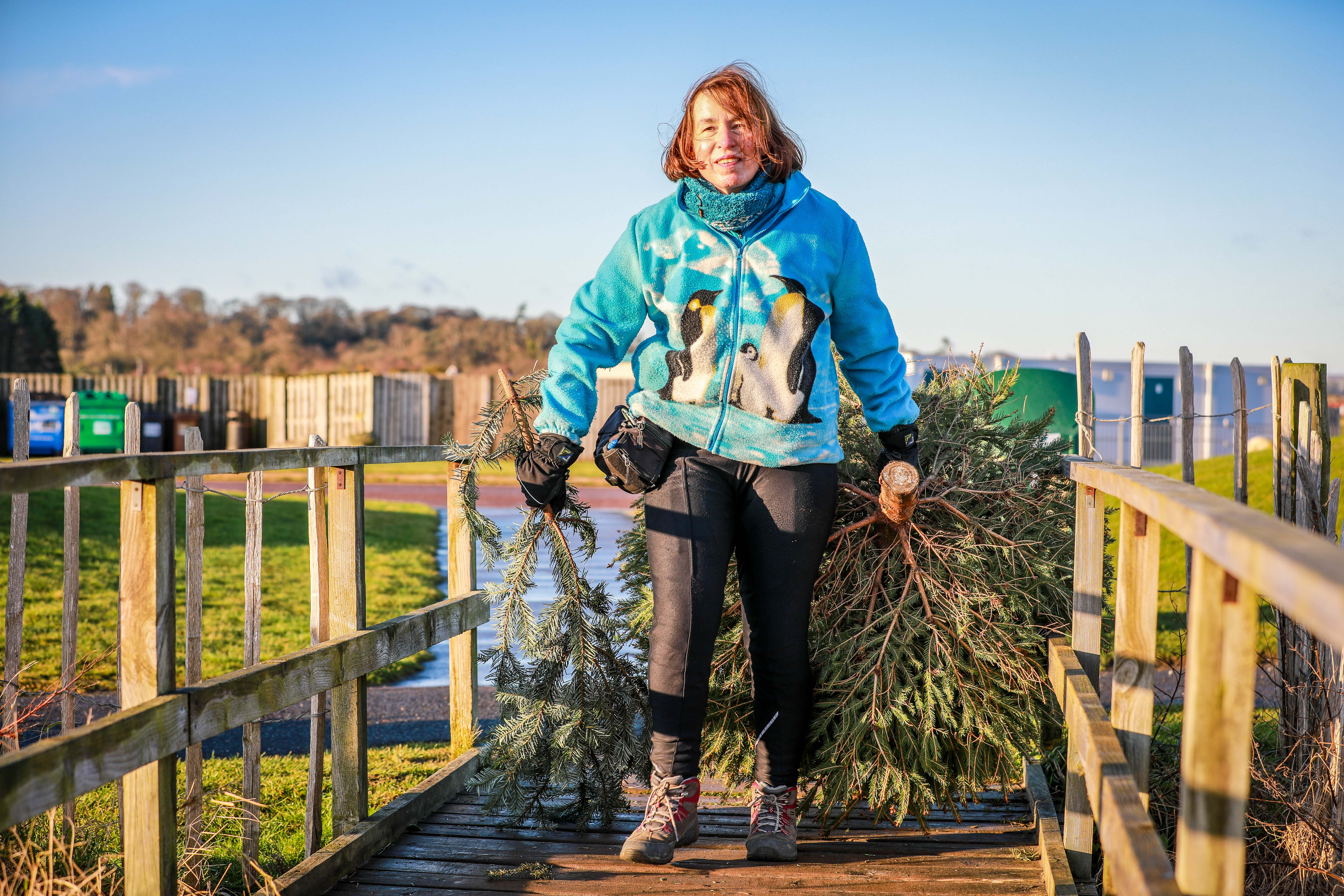 More than 900 Christmas tree were donated to help save the sand dunes from erosion.