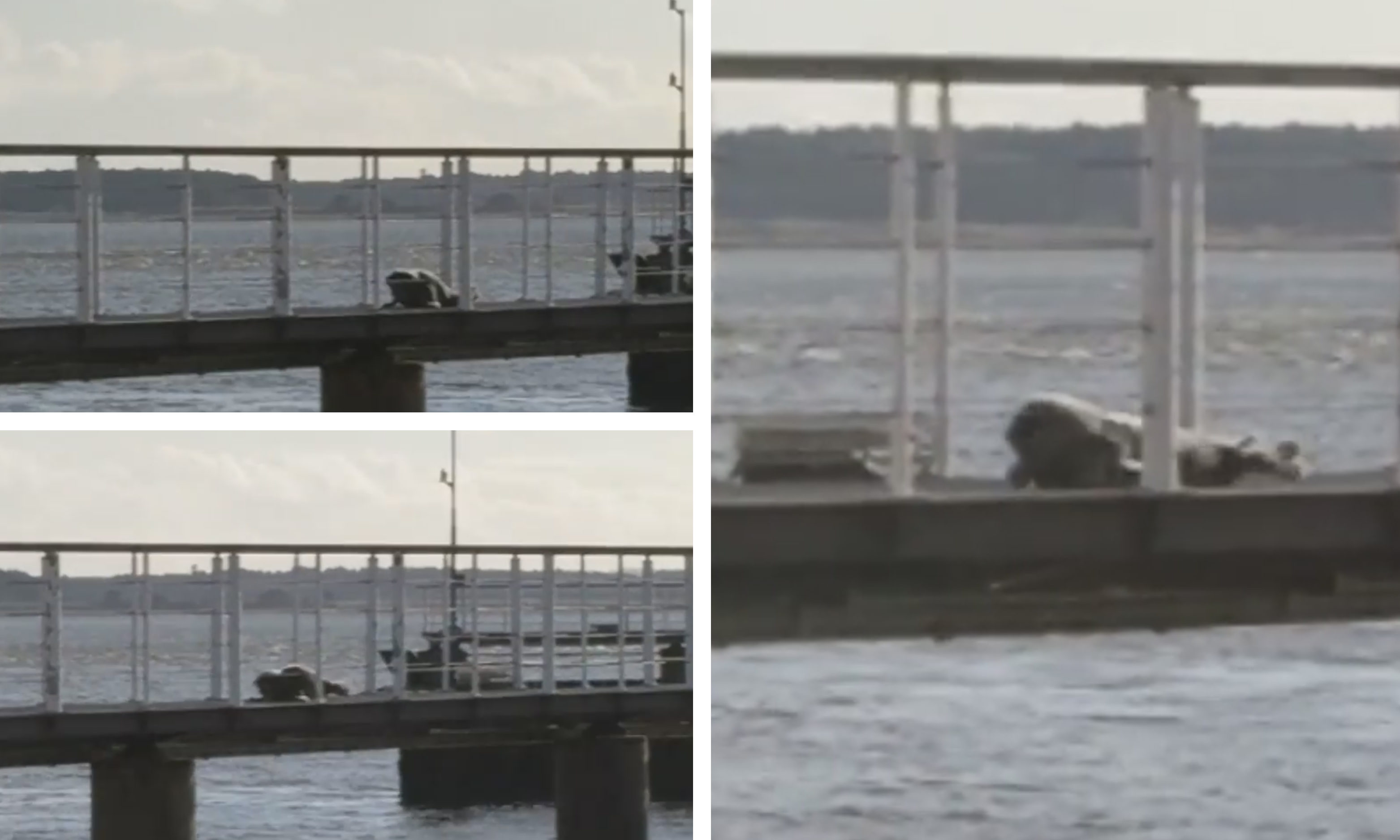 Sammy the seal in Broughty Ferry.