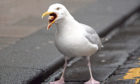 Gull nests and eggs will no longer be removed from Angus roofs.