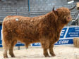Muran Vallay of Ardbhan from the MacDonald family was the toast of the Oban Highland cattle sale, netting 6,800gns.