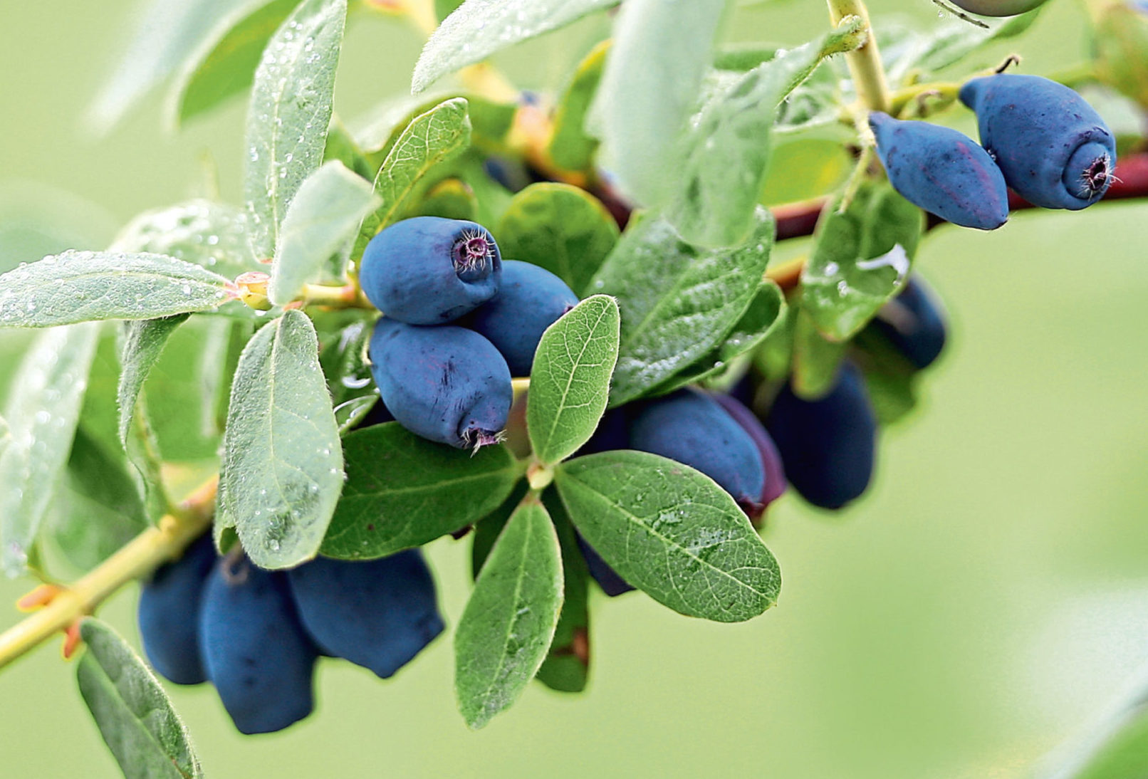 Honeyberries are deemed ideal for Scottish conditions.
