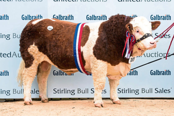 Overall and intermediate champion at the pre-sale show of Simmentals at Stirling, Wolfstar Jackaroo, from the King family of Ormiston