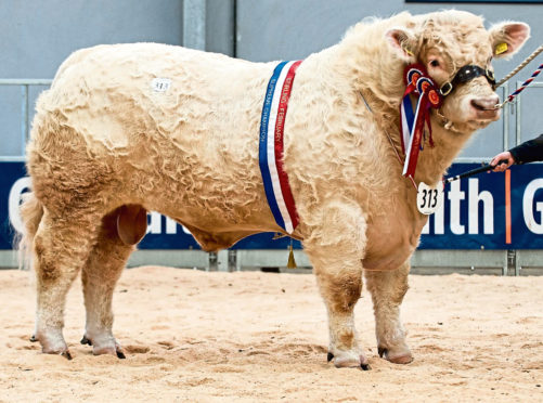 Overall champion Charolais bull Glenericht Oasis sold for 25,000gn at Stirling.