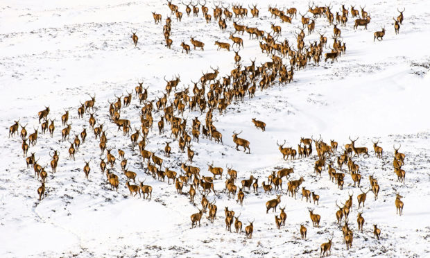 A herd of stags and hinds are spotted in the snowy Glenshee mountains.