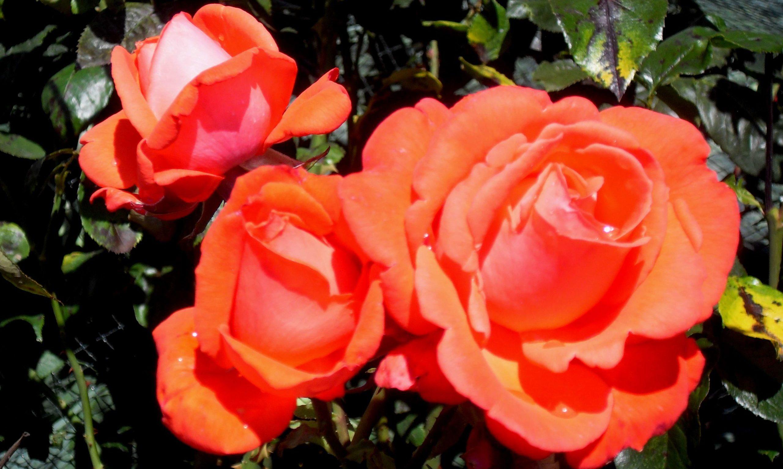 Rose Dawn Chorus