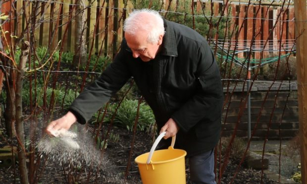 Spreading lime for brassicas