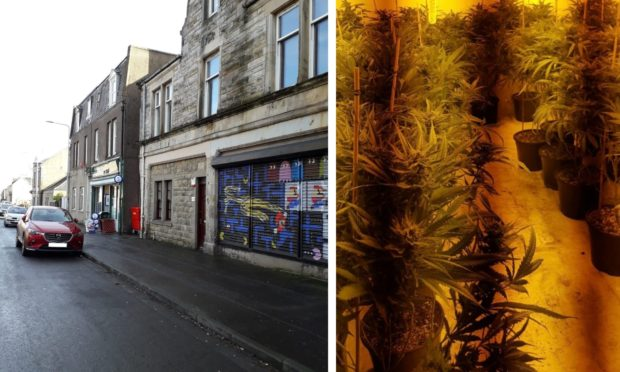 Fife police said the cannabis plant haul on Randolph Street was similar to the one pictured on the right of this photo.