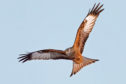 The best places to see red kites in Courier Country are from Stirlingshire and into southern Perthshire. They can also be seen in some of the Angus glens and adjacent areas.