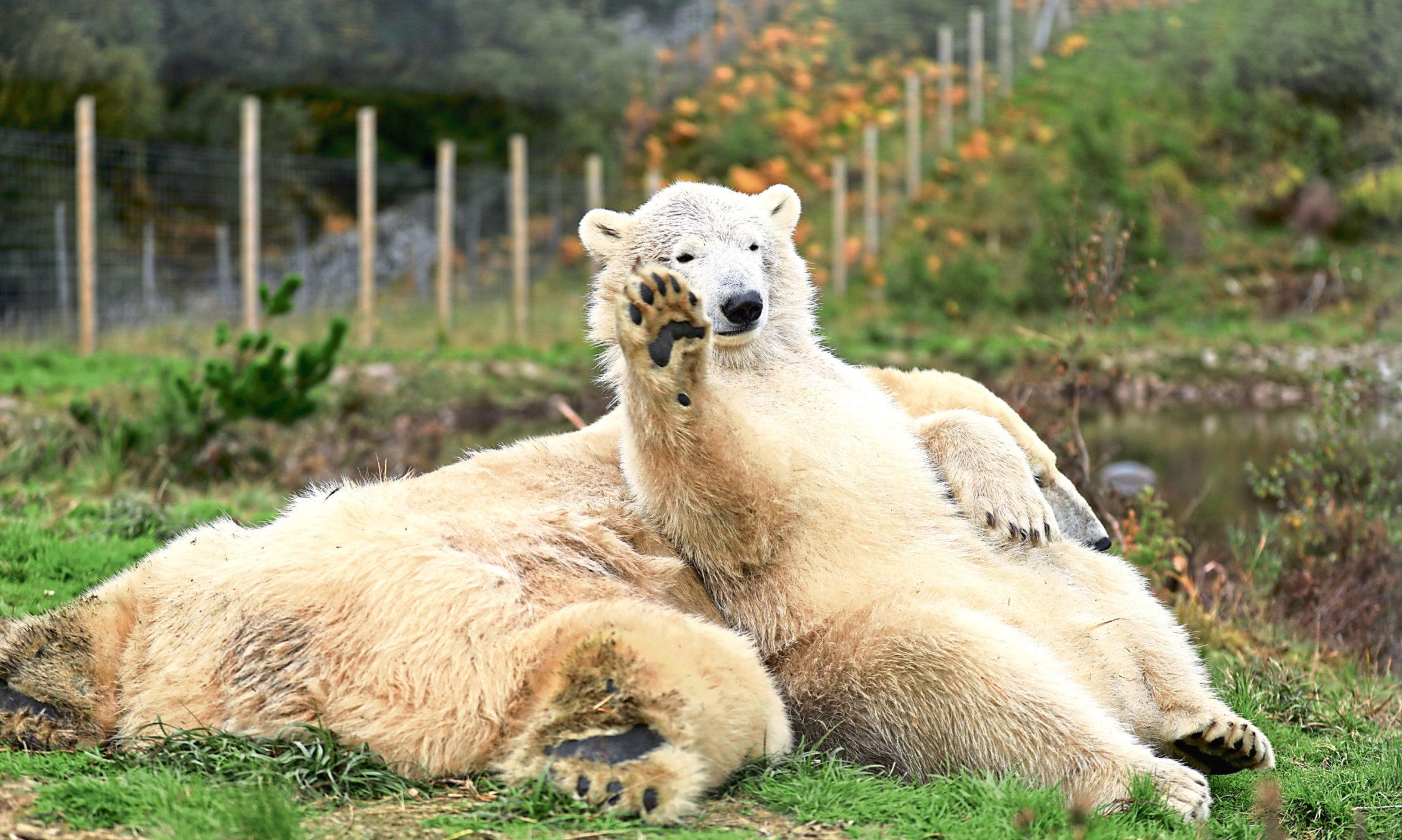 Hamish the polar bear at Highland Wildlife Park in October 2018.