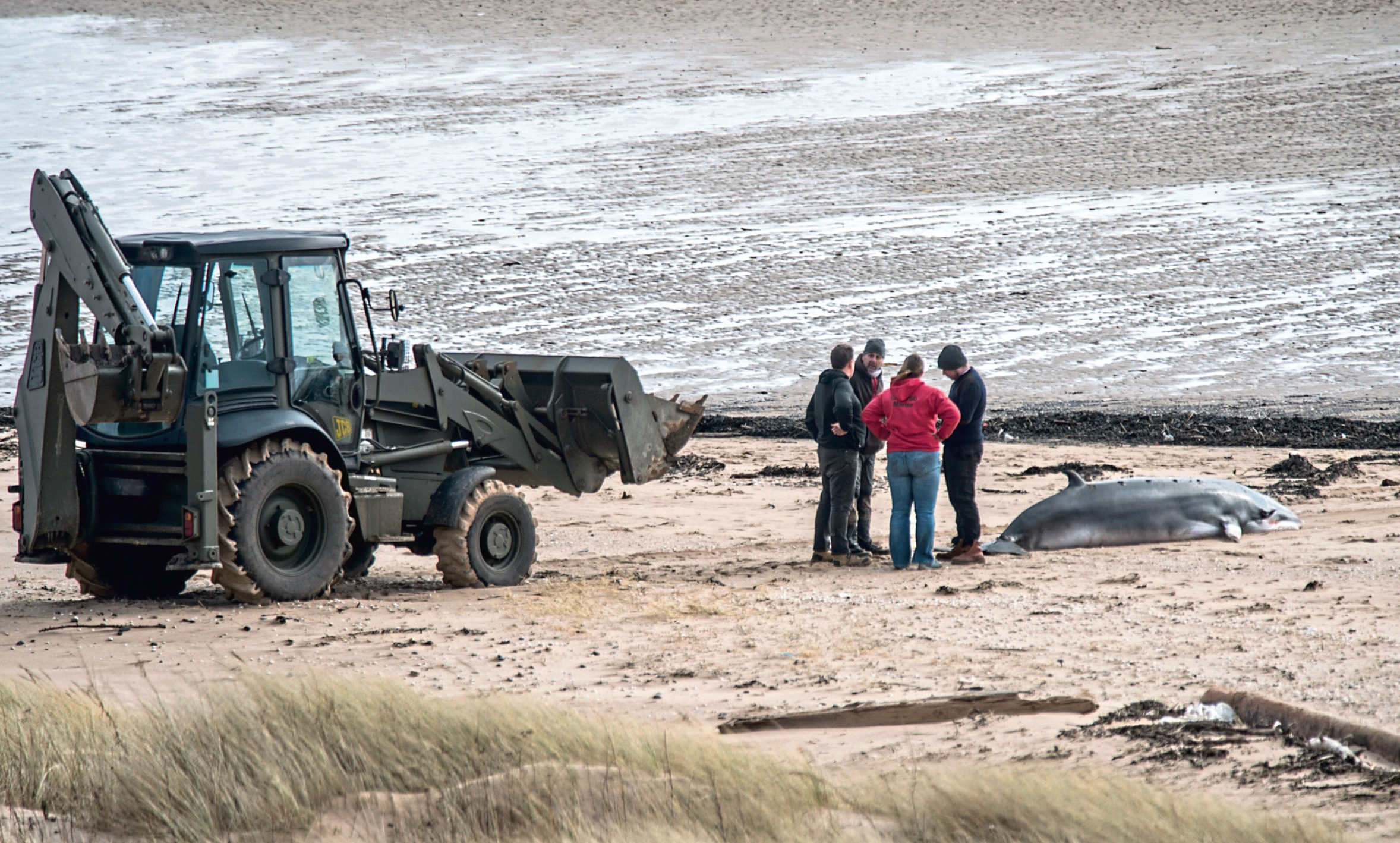 Rescue attempts to save a stranded minkie whale on the beach at Pettycur Bay.