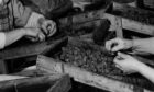 Berry-picking was a major industry across Tayside and Fife in the 20th century.