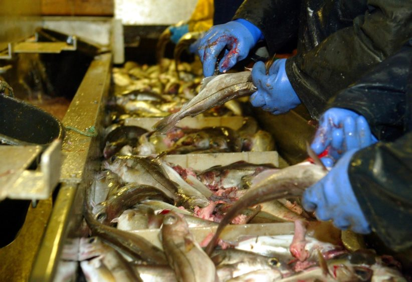 A row of deckhands gut fish trawled from the North Sea between Norway and the Shetland Islands.