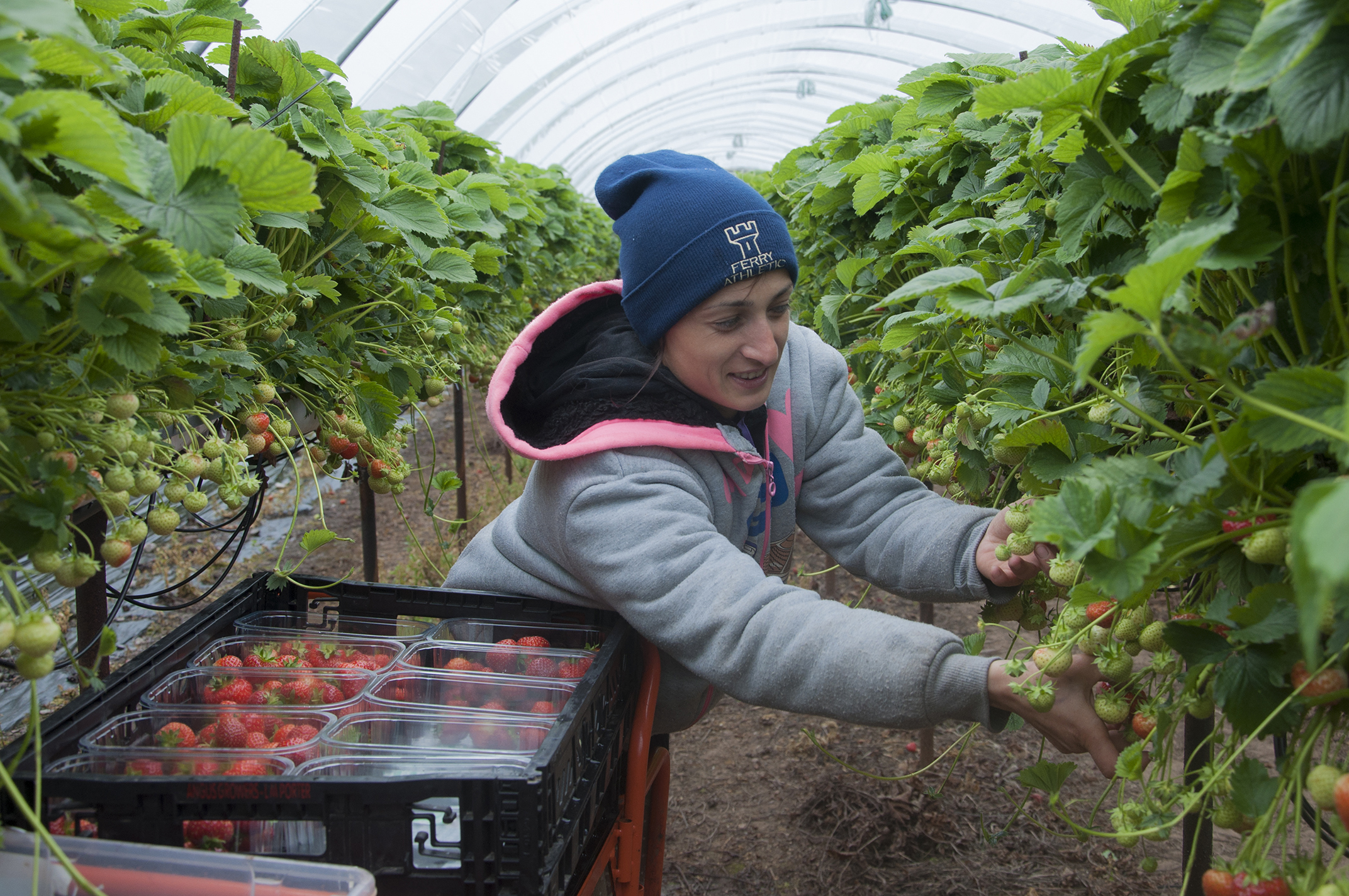 Thousands of berry pickers are needed to work on fruit farms from May onwards..
