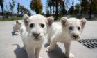 Jiangsu Nantong White Lion Cubs - 23 Apr 2020