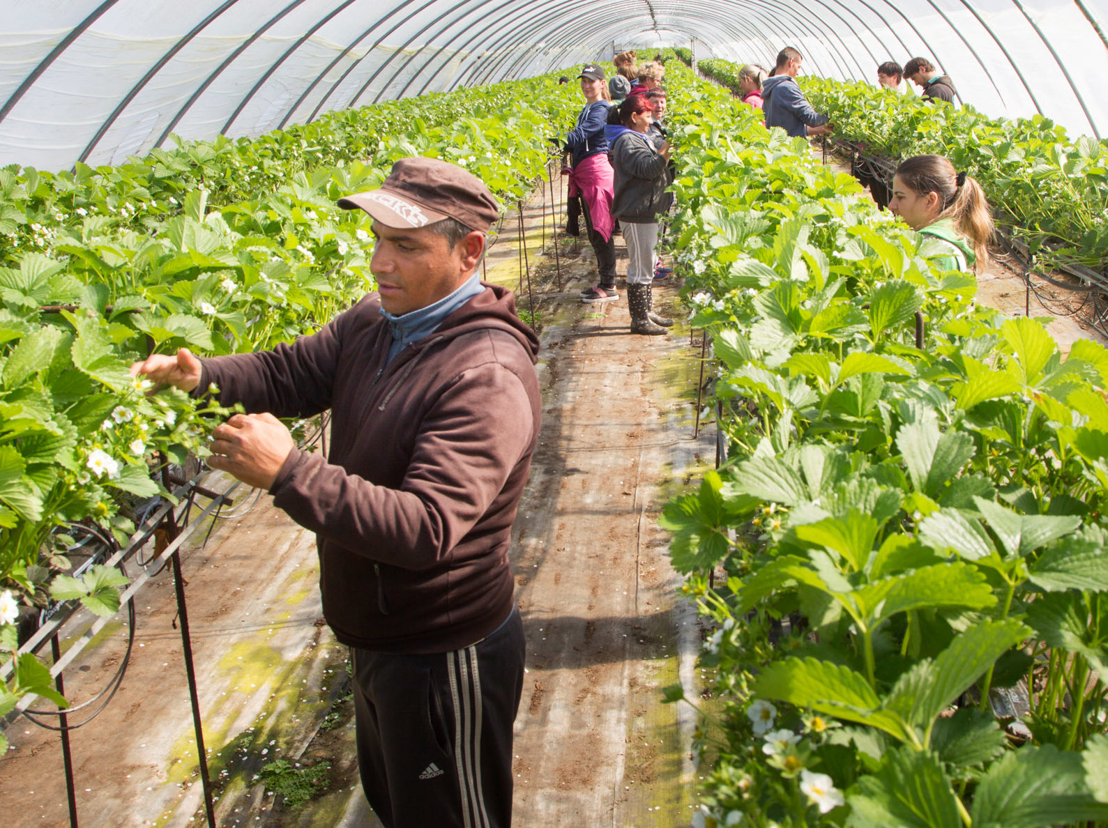 Only a fraction of the regular east European workforce required by growers is currently in the country.