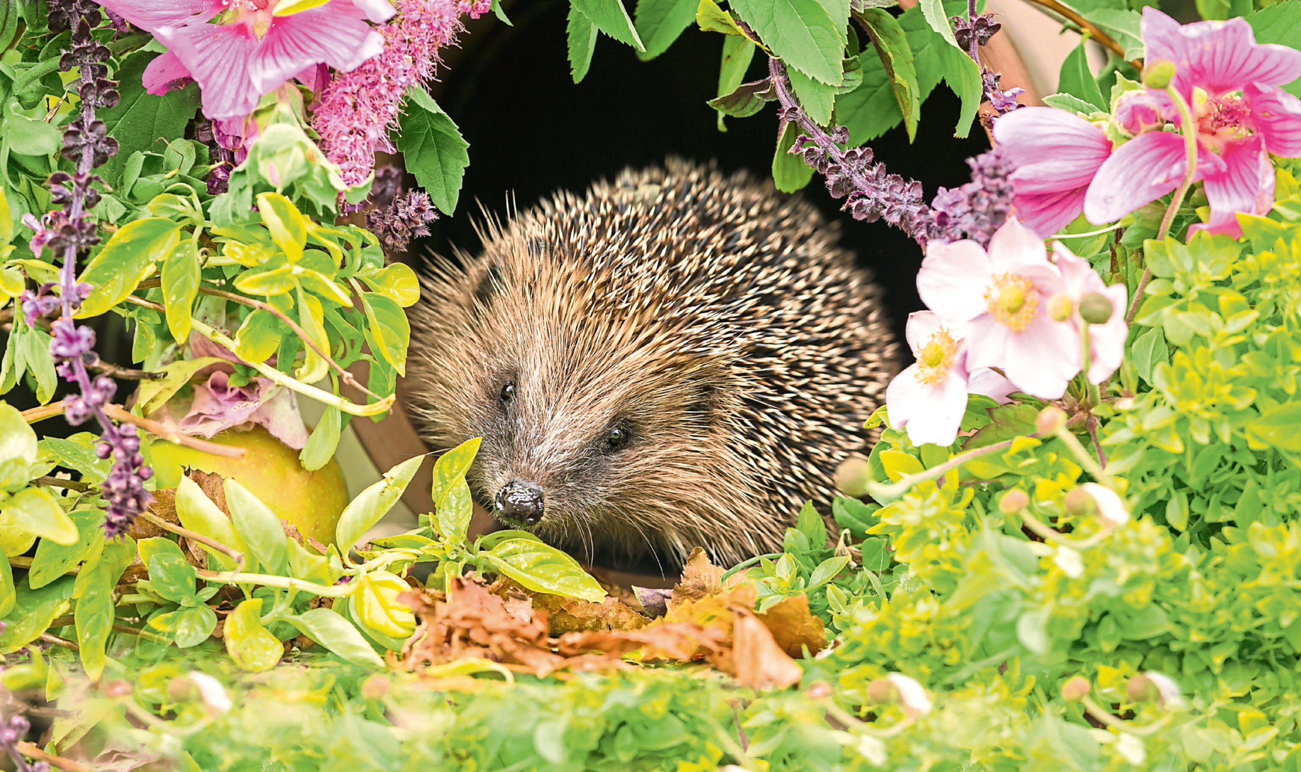 Hedgehog, a very pretty wild, native, European hedgehog surrounded by pink flowers and green foliage.  A delightful summer scene.  The hedgehog is looking forward.  Landscape. Horizontal.; Shutterstock ID 1057806746; Purchase Order: -