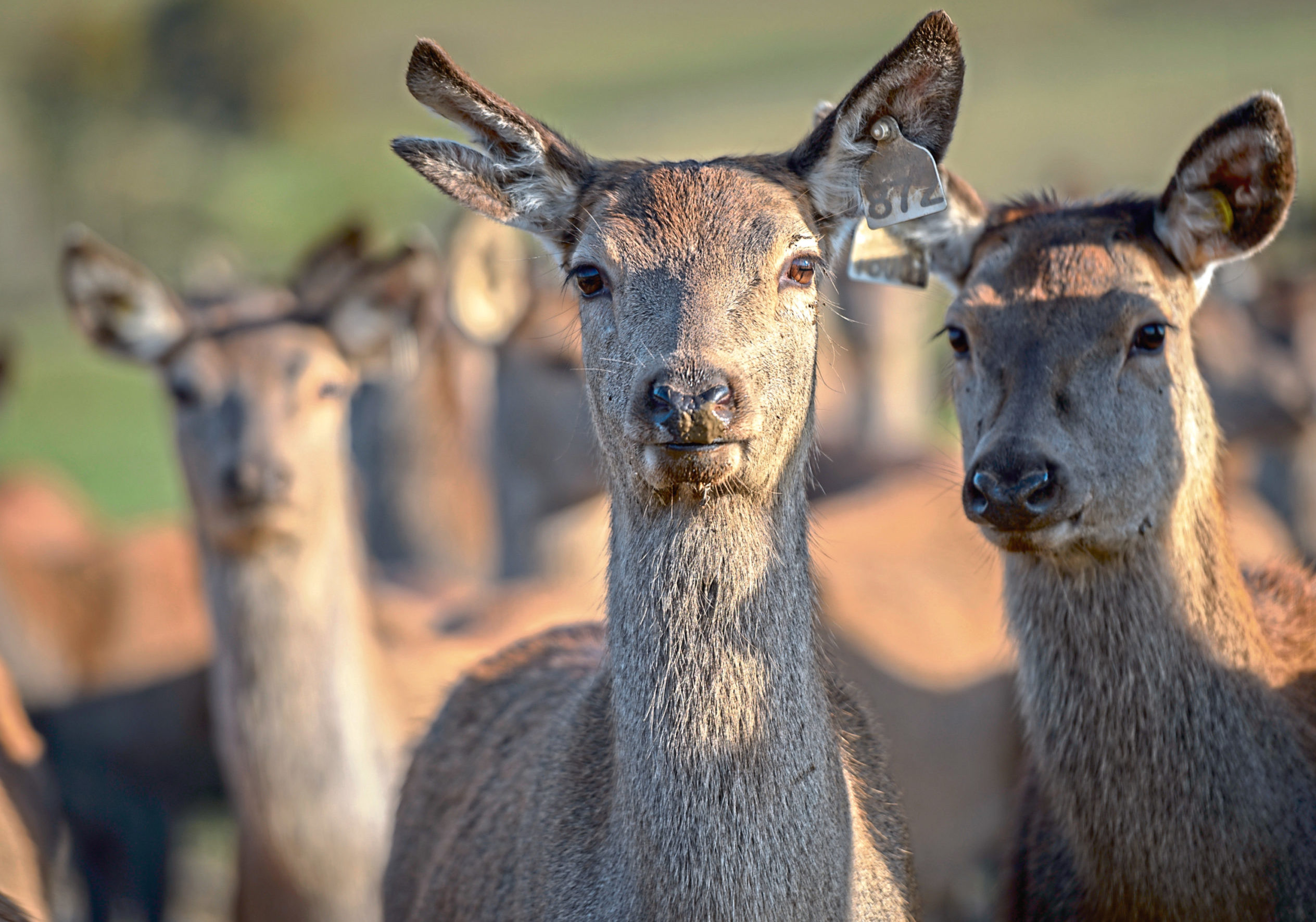 New market research is good news for the wild sector and deer farmers.
