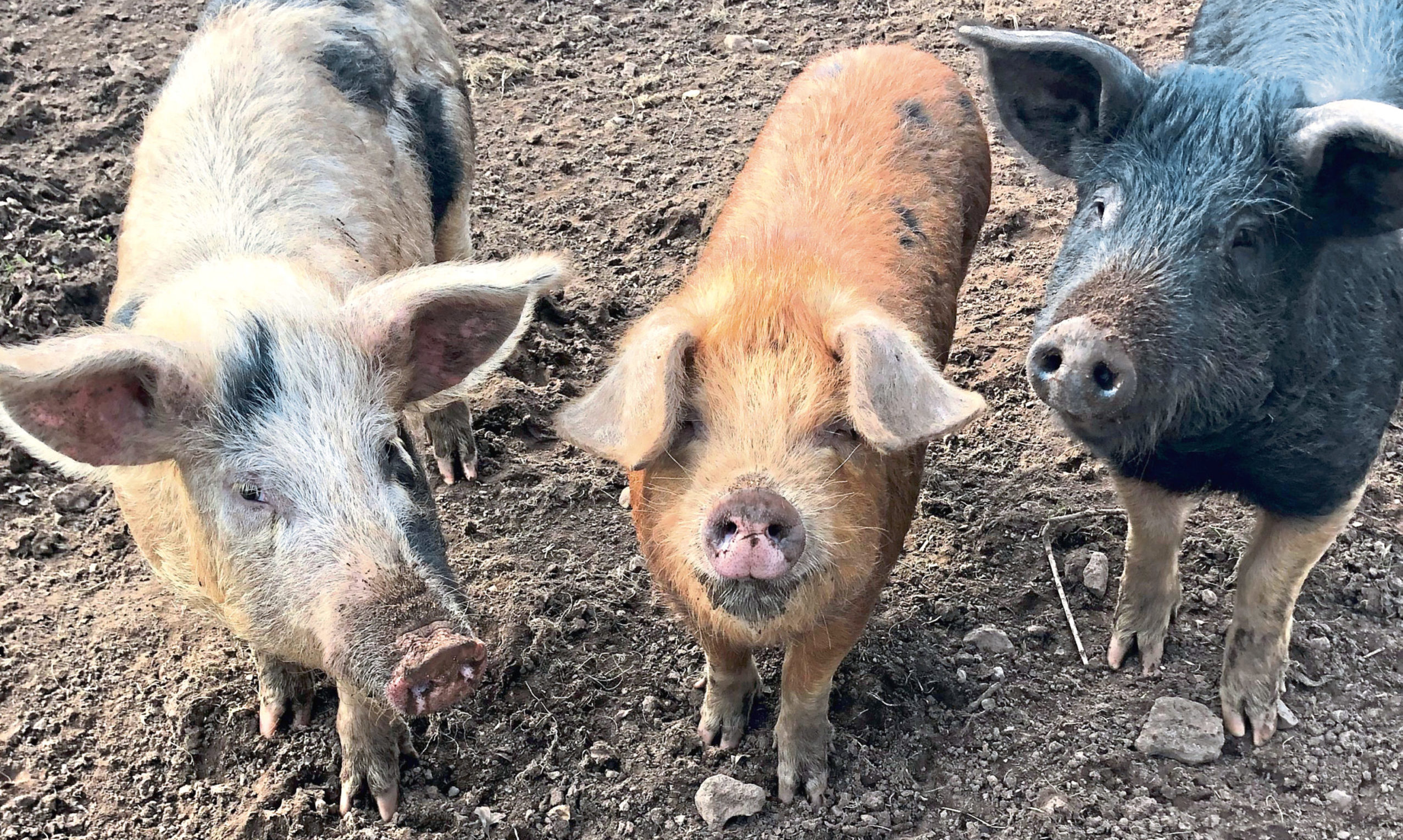 Many smallholders in Scotland rear rare breed pigs.