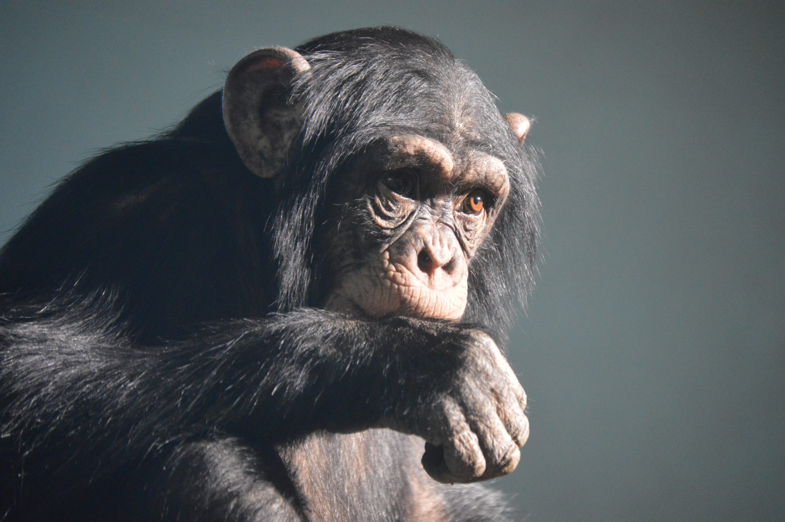A pensive chimp at Edinburgh Zoo.