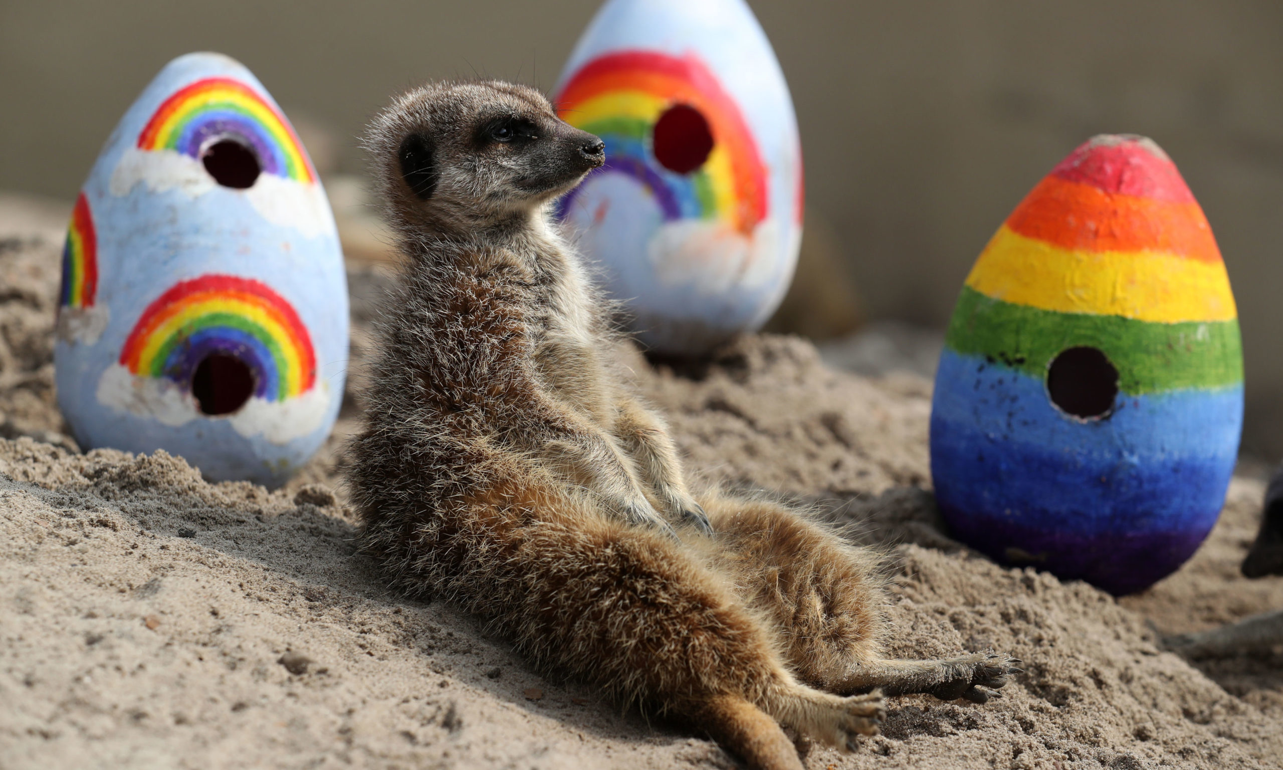 Staff at Blair Drummond Safari Park give their meerkats  rainbow coloured Easter eggs filled with enrichments.  The park is closed to the public at the moment as the UK continues in lockdown to help curb the spread of the coronavirus. PA Photo. Picture date: Friday April 10, 2020. See PA story HEALTH Coronavirus. Photo credit should read: Andrew Milligan/PA Wire