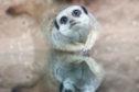 A meerkat at St Andrews Aquarium.