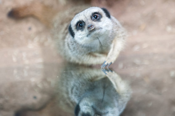 A meerkat at St Andrews Aquarium.