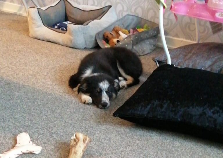 Border Collie puppy Molly.