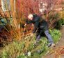 Pruning cornus and willow stems