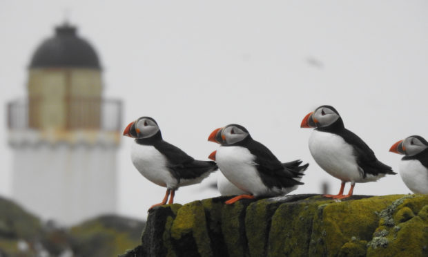 Puffins have returned to the Isle of May in great numbers.