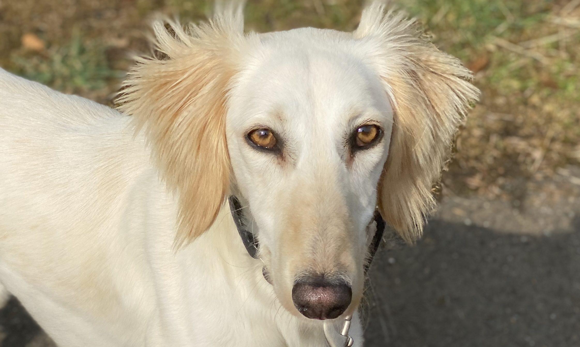 Sookie the saluki was dumped in an Aberdeenshire field.