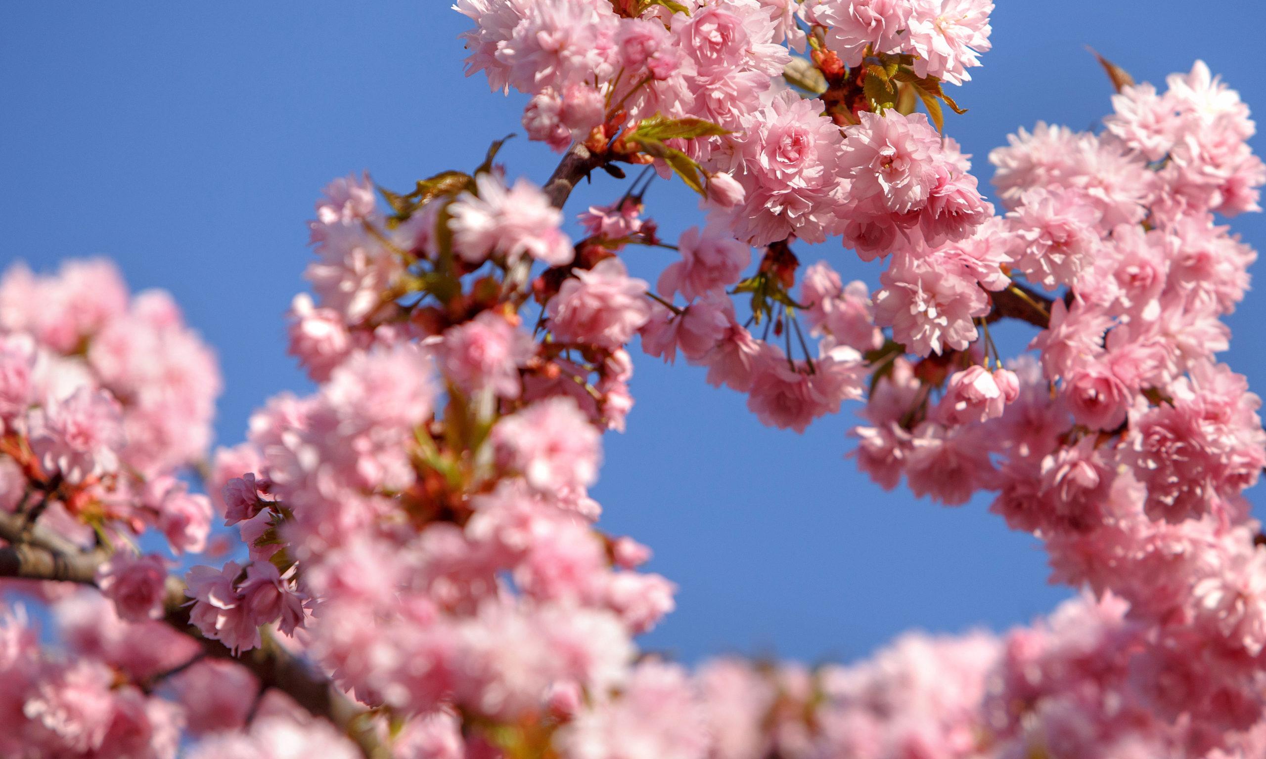Sakura trees bloom