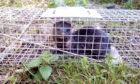 Female American mink in trap -Tay Reedbeds
