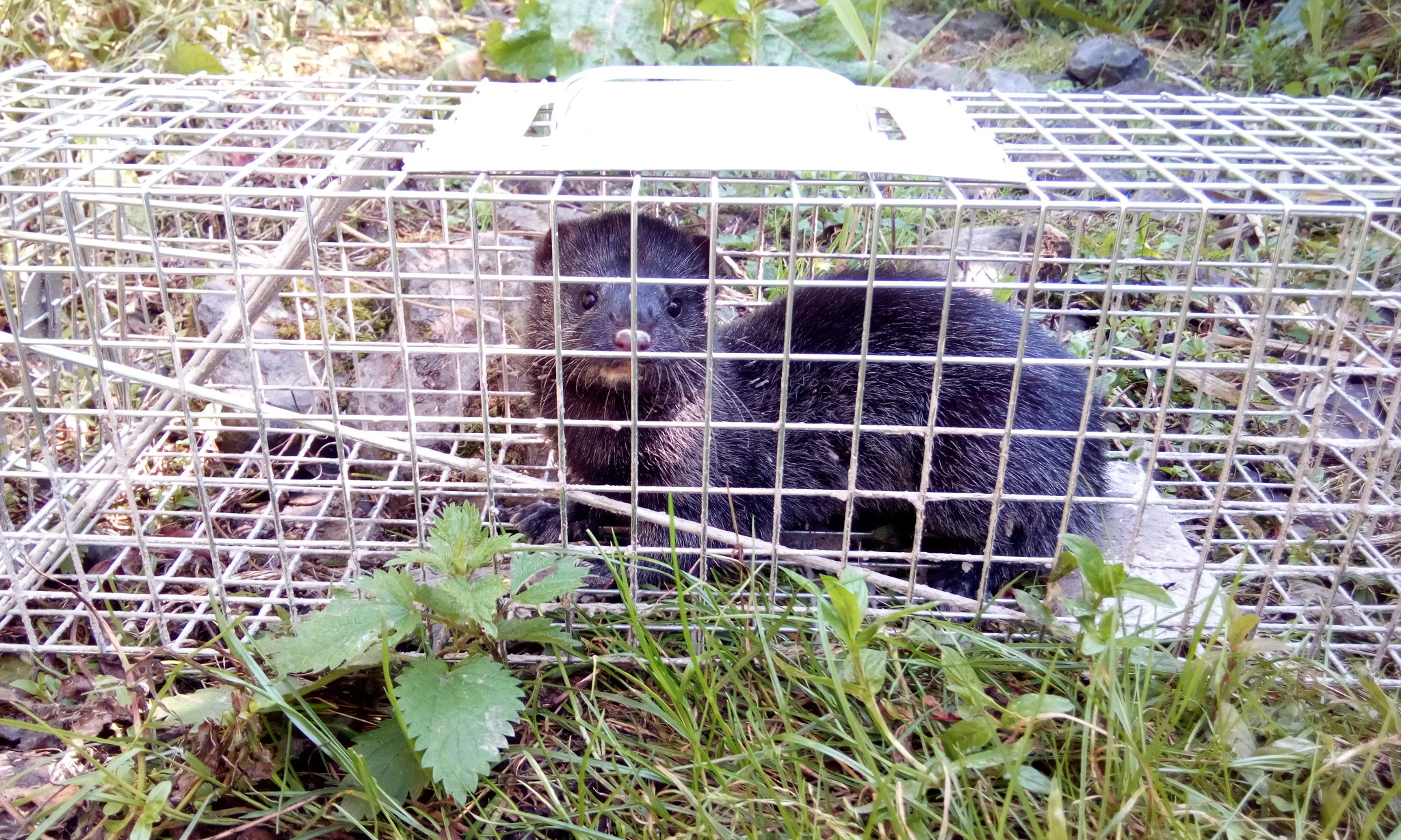 Female American mink in trap -Tay Reedbeds