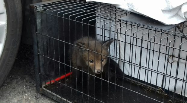 The fox cub may have spent three days under the car bonnet in Scott Street, Dunfermline.