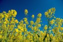 Yellow oilseed rape attracts cabbage stem flea beetles.