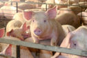 African swine fever is the highest risk to the pig sector.