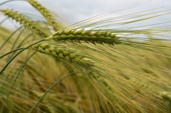 There are hopes a gene variation discovery will have a significant economic impact for barley.