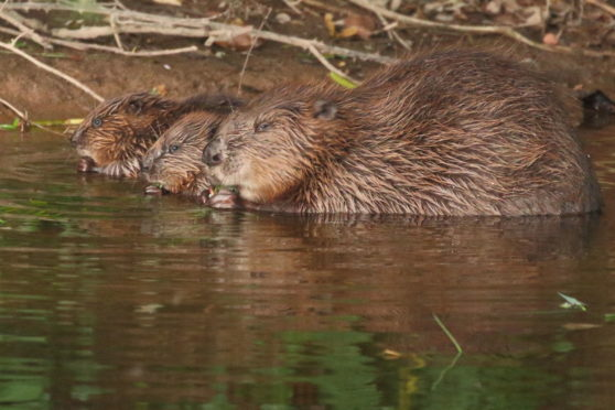 Permission was granted to kill scores of beavers in Tayside last year.