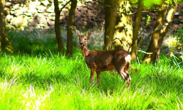 Deer roaming about Camperdown park Dundee