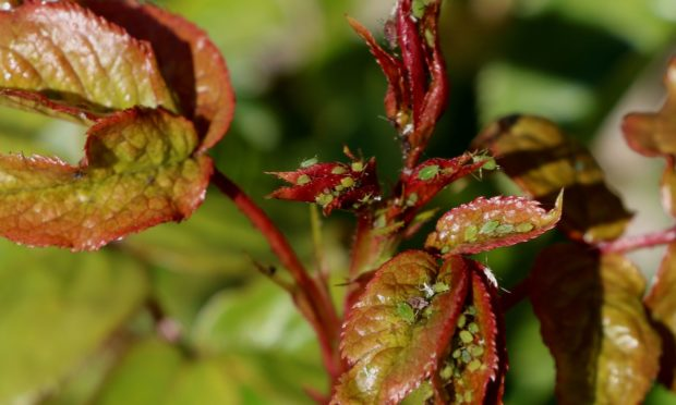 Greenfly on rose shoots