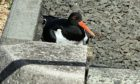 One of the oystercatchers on the nest.