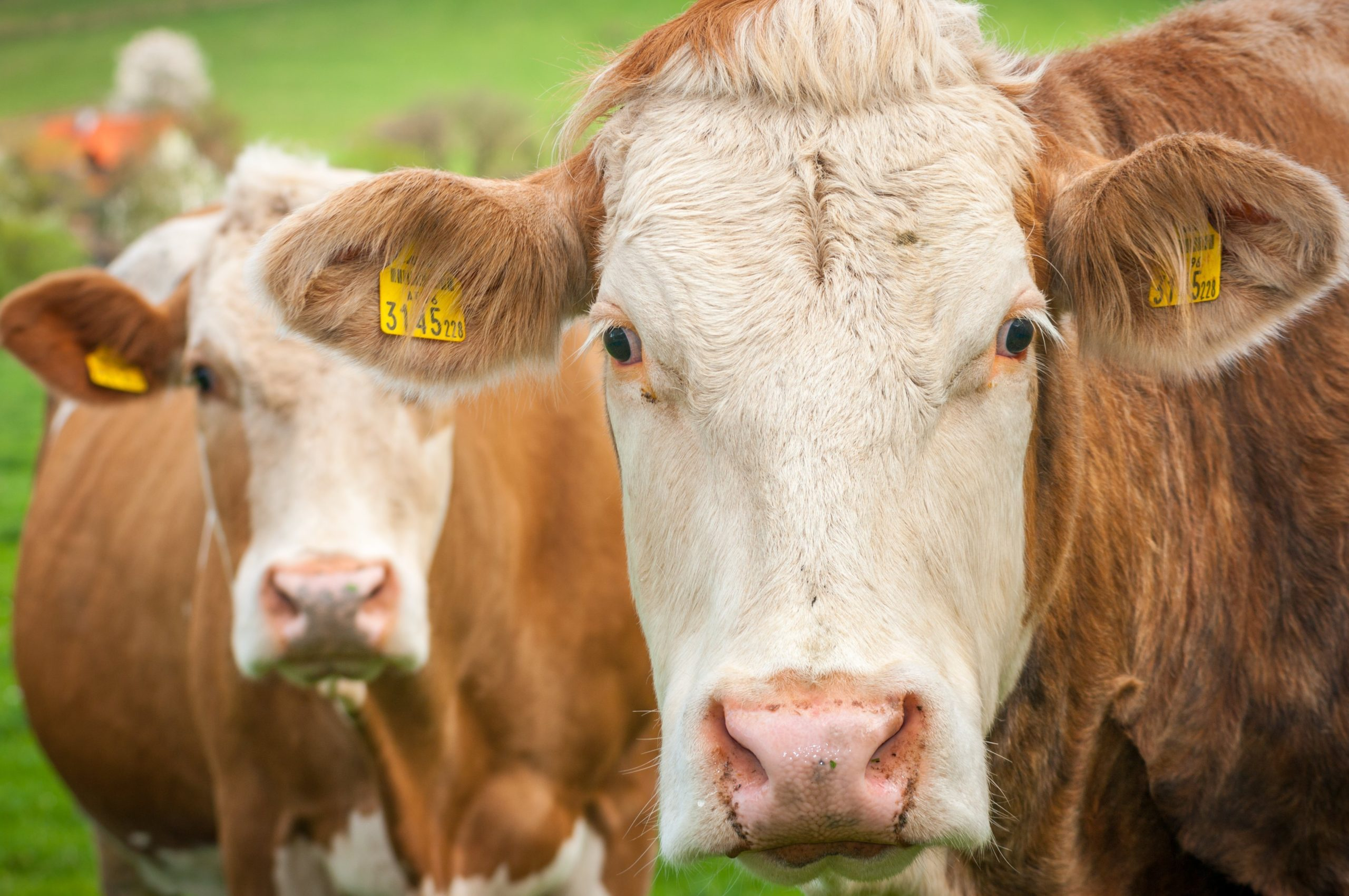 The beef industry will begin using ScotEID.