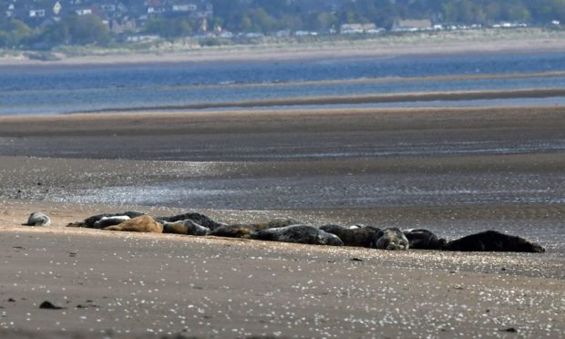 Seals at Tentsmuir Point.