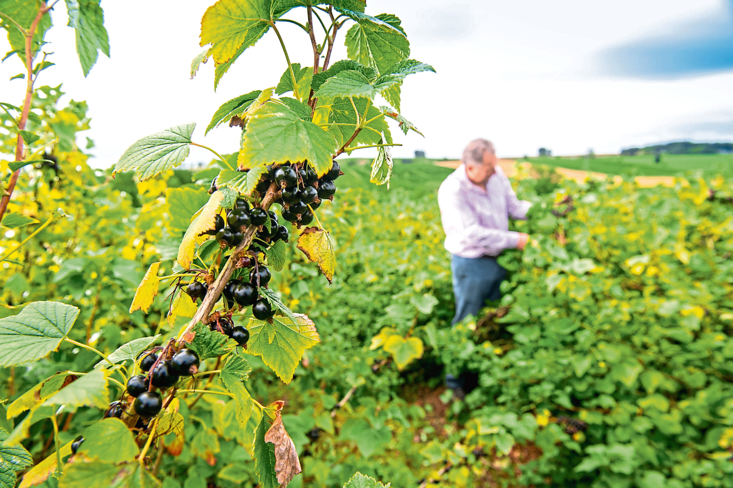Dundee blackcurrant farmer, Andrew Husband, inspects the berries he is growing for Ribena. Picture provided by the James Hutton Institute.