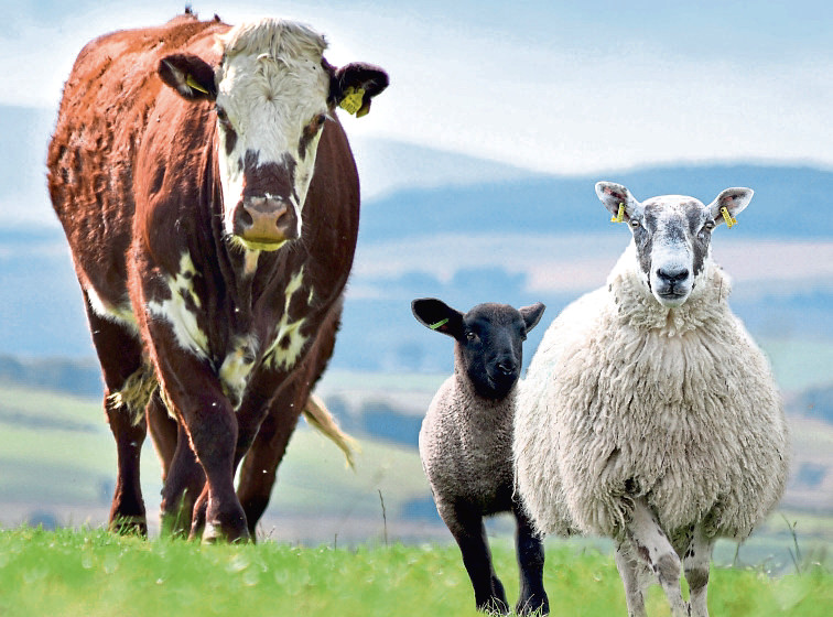 cattle and sheep picture submitted by Quality Meat Scotland (QMS).