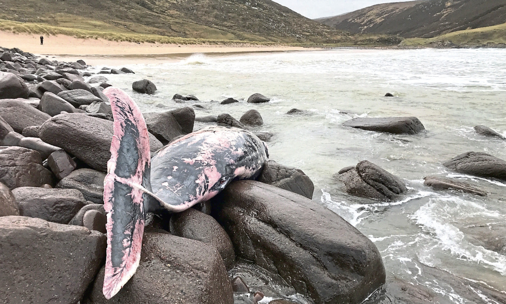 The female True's beaked whale was found at Kearvaig Bay in Sutherland.